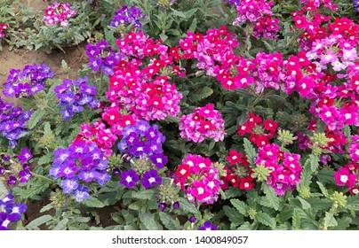 Verbena flower in the garden, Verbena peruviana is small lovely flower.