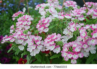 The Verbena flowers are blooming in bicolor pink and white.