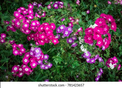 Verbena flowers are blooming in the natural garden in the winter at the northern of Thailand
