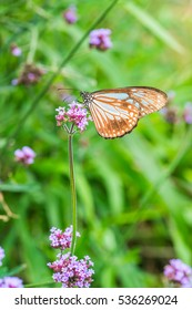 Verbena flowers with butterfly in Thai, Thailand.