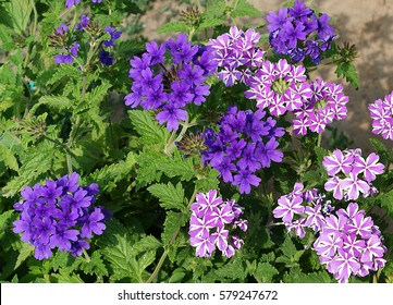 verbena flowers of different colors