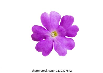 Verbena flowers isolated on white background