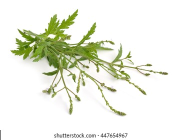 Verbena officinalis, the common vervain or common verbena. Isolated.