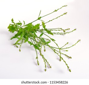 Verbena officinalis, the common vervain or common verbena. On white background.