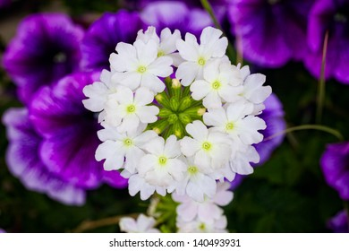 Verbena with Trailing Petunia Background