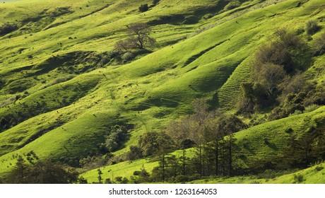 Verdant Green Hillside Pasture in Spring, Coastal California
