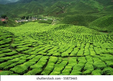 verdant tea plantation