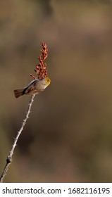 A verdin rests for a moment on an ocotillo branch in Saquaro National Park, Arizona
