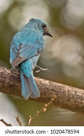 The verditer flycatcher is an Old World flycatcher It is found from the Himalayas through Southeast Asia to Sumatra