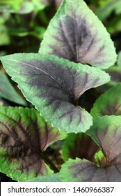 Verical closeup of the purple-and-green, heart-shaped leaves of 'Heartthrob' violet (Viola 'Heartthrob')
