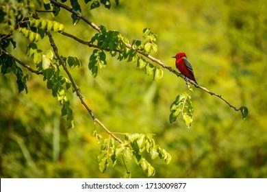 Vermilion flycatcher in mexican Puerto Escondido, bird paradise