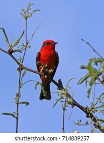 A Vermillion Flycatcher (Pyrocephalus obscurus) perched at the top of a tree, located in Tuscon, Arizona.