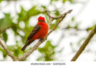 A vermillion flycatcher standing on a tree branch