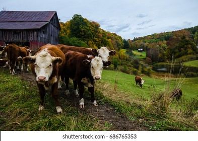 Vermont Cows in Fall