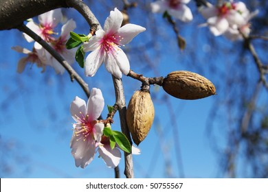 The vernal blooming of an almond tree.