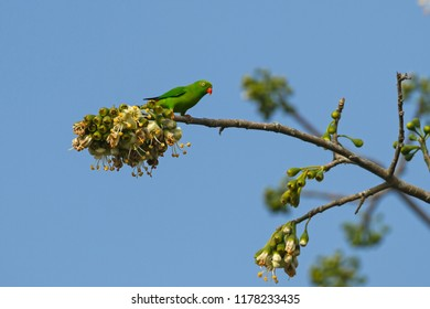 Vernal hanging parrot in the nature.