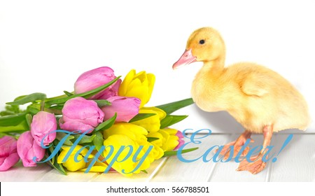 Vernal tulips and fluffy duckling