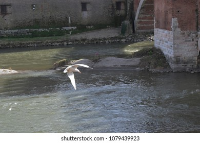 Verona, Italy - April 2, 2018: A seagull flies over the Adige river of Verona. In the background the bridge and the ancient walls of the city of Verona.