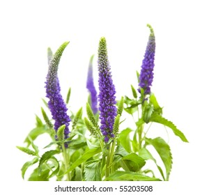 Veronica flowering spikes; isolated on white background;