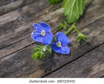 Veronica persica or Veronica filiformis blue, four-lobed flowers on the wooden background. Bird's Eye Speedwell or field speedwell is herbaceous, flowering plant in the plantain family Plantaginaceae.