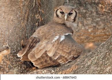 Verraux's Eagle Owl, Chobe National Park, Botswana