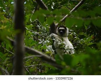 Verreaux Sifaka Lemur in Isalo National Park, Madagascar