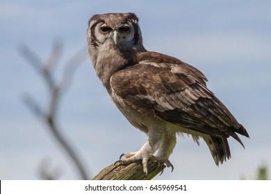 Verreaux's eagle-owl (Bubo lacteus) also known as milky eagle owl
