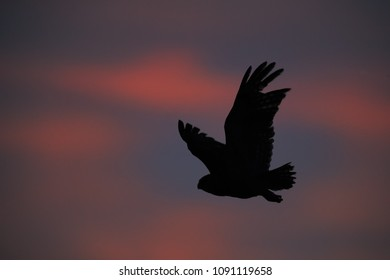 Verreaux's eagle-owl, Bubo lacteus, silhouette of powerful, african owl, flying in dusk against red colored clouds. African wildlife photography in Moremi, Okavango delta, Botswana.