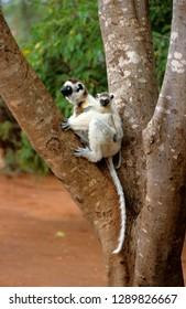 Verreaux's Sifaka endemic of Madagascarv
