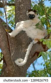 Verreaux's sifaka endemic of Madgascar