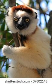 Verreaux's sifaka, lemur, Berenty Reserve, Madagascar