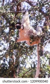 Verreaux's Sifaka Lemur, (Propithecus verreauxi), Berenty Private Reserve, Anosy, Madagascar