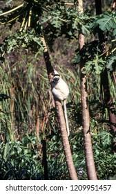 Verreaux's Sifaka Lemur, (Propithecus verreauxi), Parc du Menabe, Toliara, Madagascar