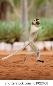 Verreaux's Sifaka (propithecus verreaux) dancing in the Berenty Reserve, Madagascar