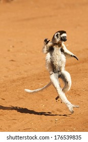 Verreaux's Sifaka, Propithecus verreauxi, dancing across the sand in Madagascar, Africa.
