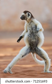 Verreaux's Sifaka (propithecus verreauxi) dancing in the Berenty Nature Reserve, southern Madagascar