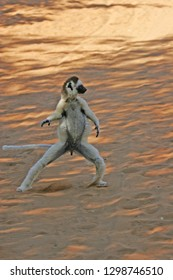 Verreaux's Sifaka, Propithecus verreauxi) also known a sthe White Sifaka, in Madagascar. Running on the ground