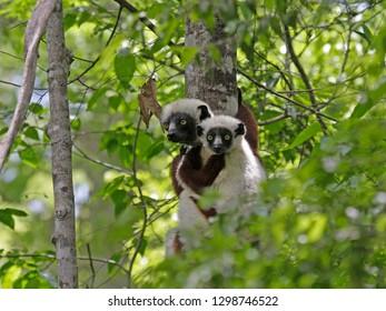Verreaux's Sifaka, Propithecus verreauxi) also known a sthe White Sifaka, in Madagascar.