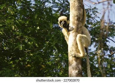 Verreaux's Sifaka (propithecus verreauxi) lemur, Madagascar