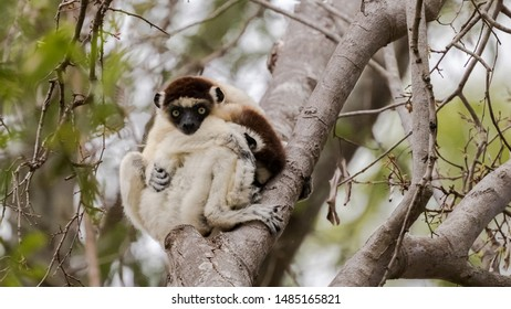 Verreaux's sifaka Propithecus verreauxi, two adults cuddle together for warmth, Madagascar, October 2017