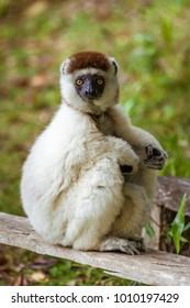 """Verreaux's sifaka (Propithecus verreauxi), or """"white sifaka"""", endemic lemur of  Madagascar"""