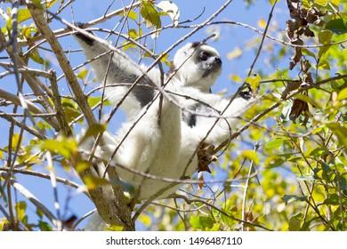 Verreaux's sifaka (Propithecus verreauxi), or the white sifaka, in Isalo national park, Madagascar