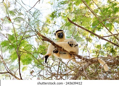 Verreaux's sifaka (Propithecus verreauxi), or the white sifaka, with baby in Kirindy Mitea National Park, Madagascar