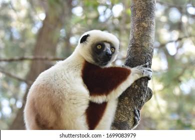 Verreaux's sifaka (white sifaka), Madagascar