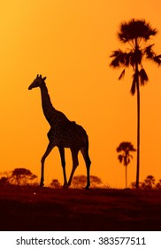 Vertcical silhouette of Angolan Giraffe,Giraffa camelopardalis angolensis, walking in the colorful evening savanna against orange background with palm trees.