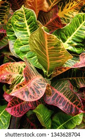 Vertical background of colorful croton plant leaves