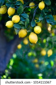 Vertical background of a group of fresh organic lemons hanging on a tree in a mediterranean grove , selective focus to added copy space