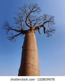Vertical of Baobab trees with blue sky which  baobabs in Madagascar
