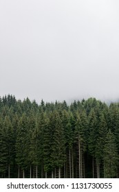 Vertical beautiful coniferous forest with fog. Firs, larches.  Styria mountains, Austria