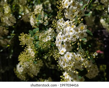 Vertical branches of blooming spirea slimy close up in bright sunny day